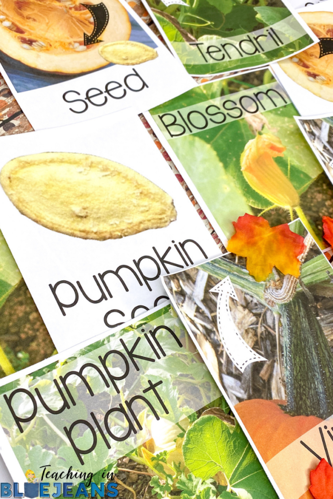 real photo pumpkin vocabulary cards help students learn pumpkin terms